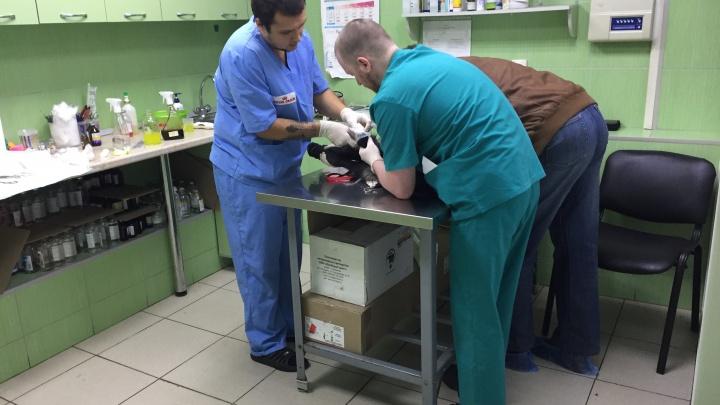 Итоги новогодних каникул пермских ветеринаров: «дождик» едят реже, но травмируются из-за фейерверков