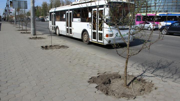 Напротив мэрии дорожники разворотили тротуар ради яблонь