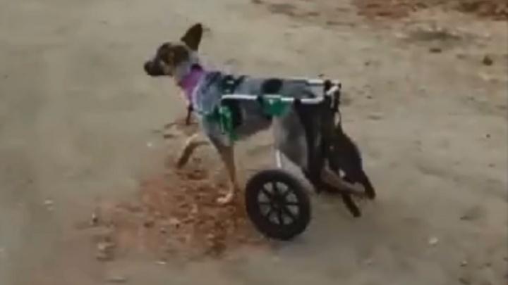 «Теперь гоняет на больших скоростях»: в Волгограде собаку-инвалида поставили на два колеса