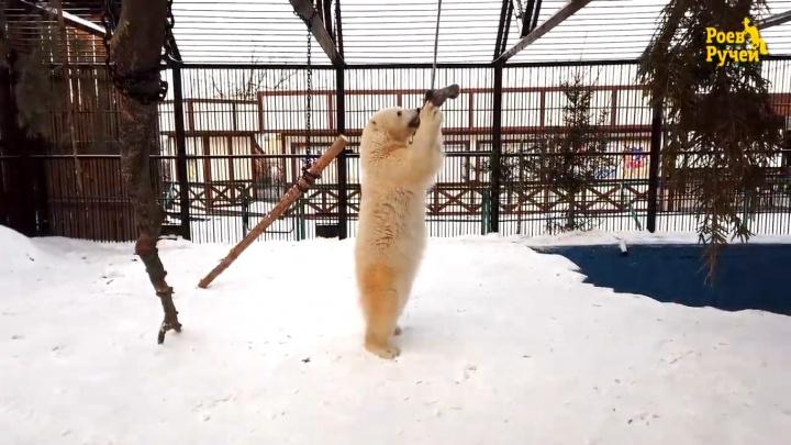 В зоопарке сняли игры молодой медведицы Урсулы