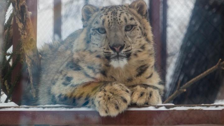 Зоозащитники обеспокоены судьбой барсихи из Перми. Они думают, что Красава погибла в парке «Тайган»