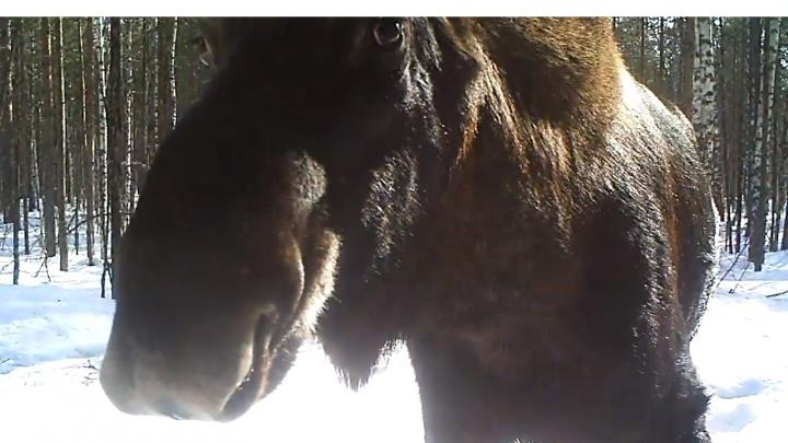 Видео дня. Поцелуй от лося из Керженского заповедника
