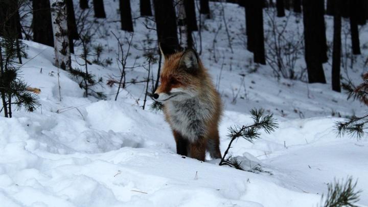 В Калиновском лесопарке лиса вышла к людям на запах шашлыка