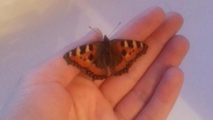 Чудо с крыльями: в Новосибирске проснулись бабочки