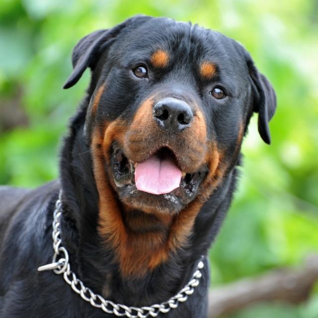 ротвейлер бойцовская собака
