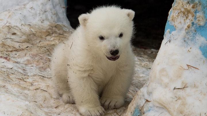 Ростик пропал: белый медвежонок исчез накануне своего дня рождения