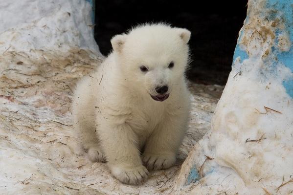Белый медвежонок, которого назвали Ростиком, родился 7 декабря 2015 года