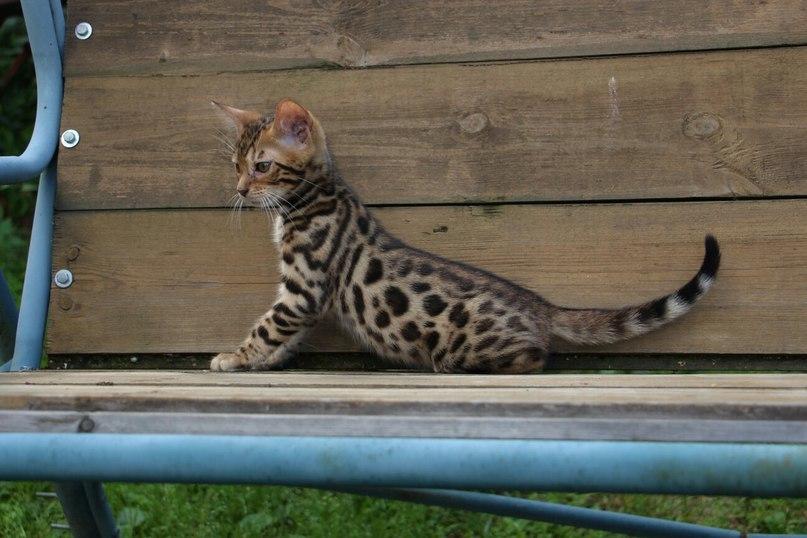 Леопардовый котенок тоже не прочь потрудиться