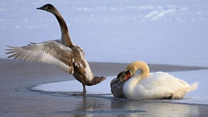В одном из башкирских городов лебеди остались на зимовку