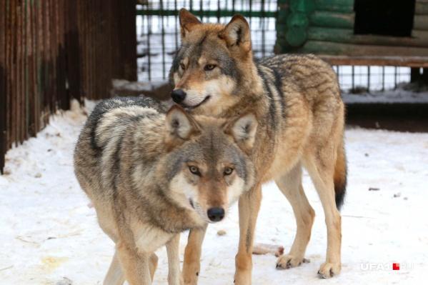 Волков в вольере парка Лесоводов легко спутать с обычной добродушной дворнягой
