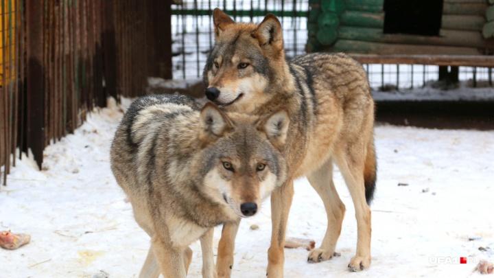 «Боимся выходить из дома»: деревню в Башкирии окружили волки