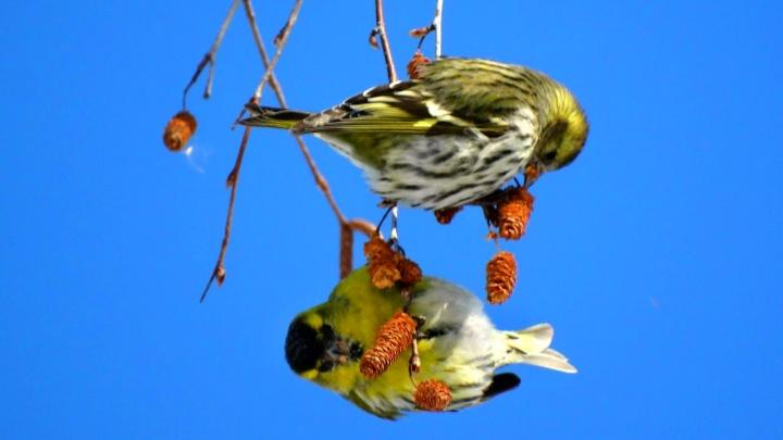 «Что это за птица?»: вторая частьпутеводителя по омским пернатым