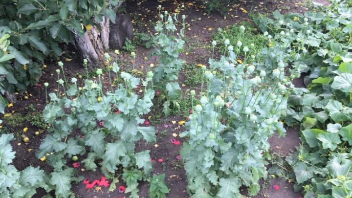 Третьи посадки мака за неделю: полиция нашла запрещенные растения в Логовушке