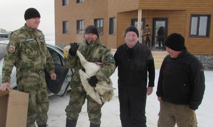 На обессилевшего лебедя открыли охоту собаки