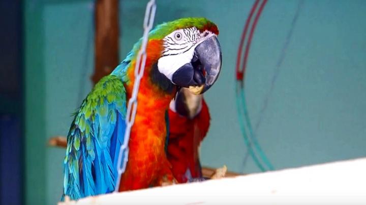 Попугаи подрались за полезное печенье в «Роевом ручье»
