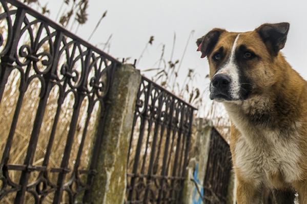 Среди домашних животных бешенством чаще всего болеют собаки