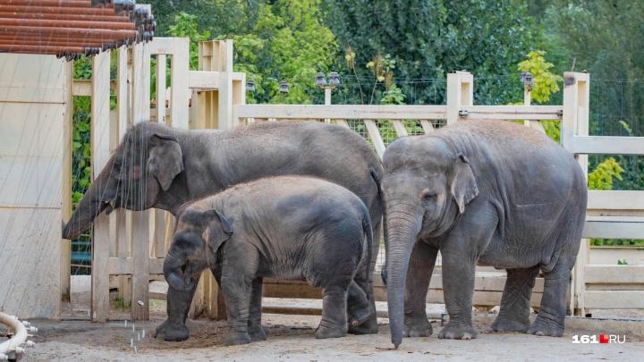 Самый маленький слон ростовского зоопарка отметит двухлетие