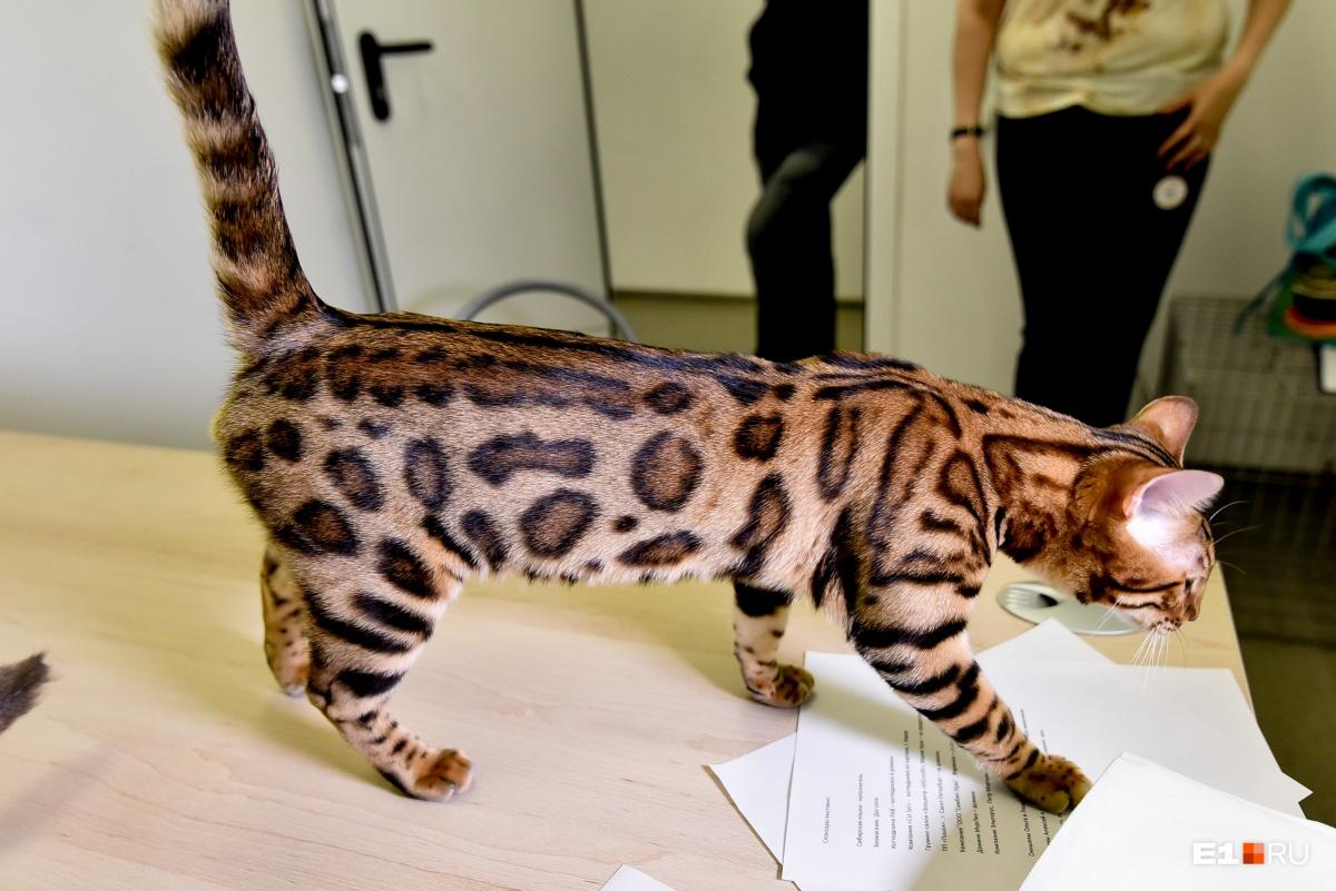 Жюри конкурса отметило, что у этого бенгальского кота шерсть прям как у диких леопардов