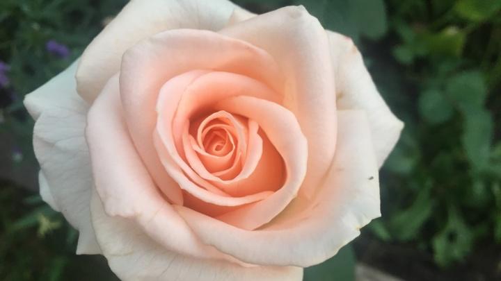 В детсаду на Урицкого превратили двор в цветущий розарий
