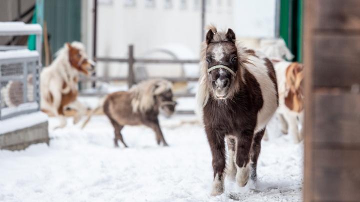Лошади размером с собаку: репортаж с челябинской фермы, где воспитывают самых маленьких пони
