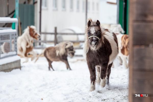 На челябинской ферме больше 30 пони
