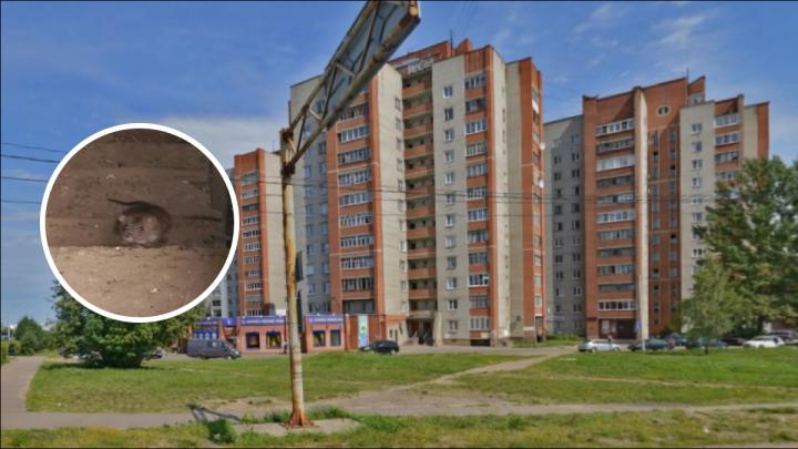 «Их там толпы»: жильцы многоэтажки из Ярославля сняли, как их дом атакуют крысы