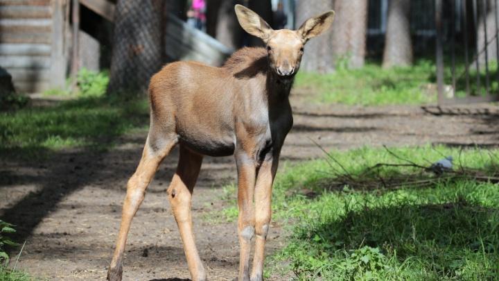 У лосей в Новосибирском зоопарке родилась двойня