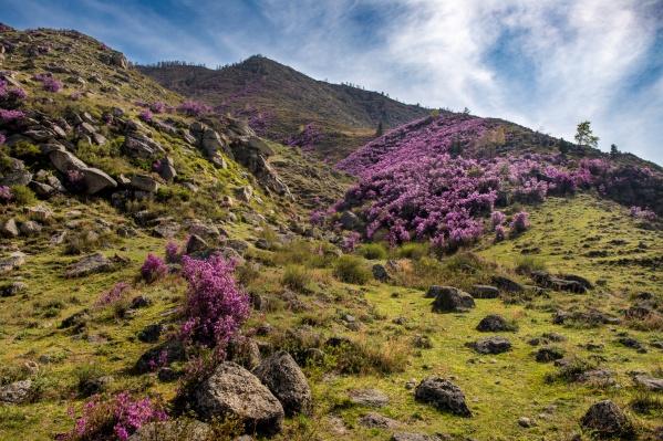 Рододендрон цветёт в течение двух первых декад мая