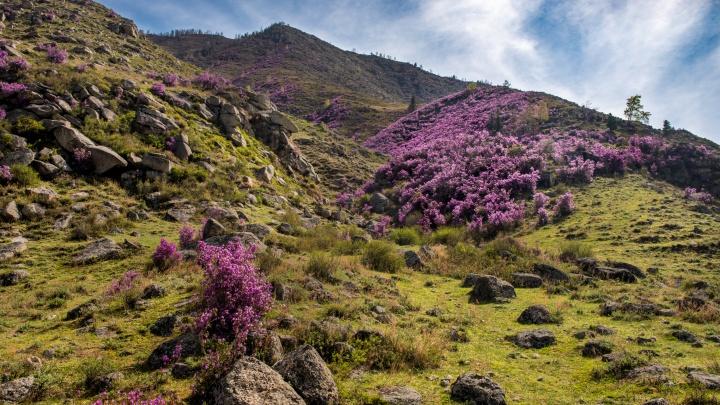 Склоны Алтая покрылись ярко-сиреневыми цветами