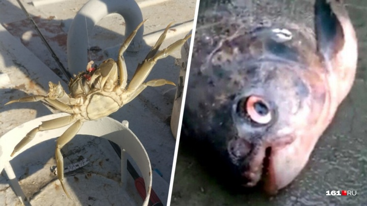 В Ростовской области поймали пиранью и тропического краба