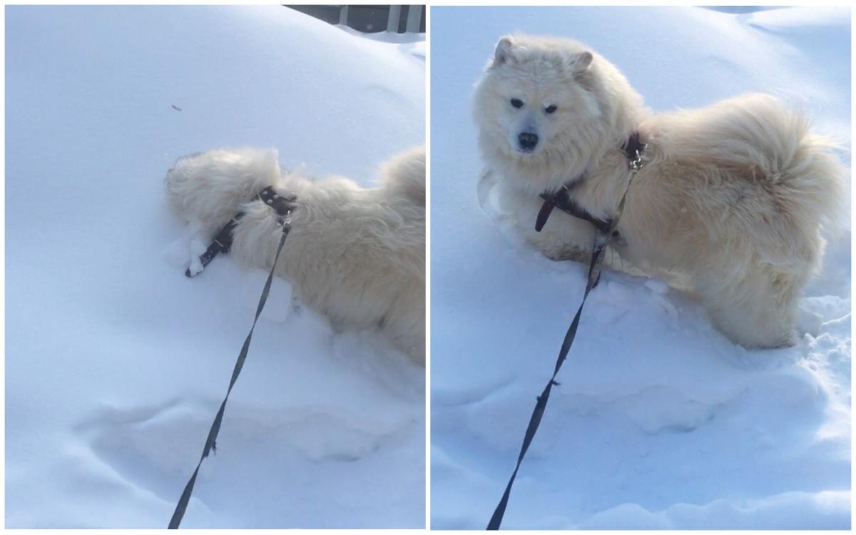 Собака Надежды Командировой любит сугробы