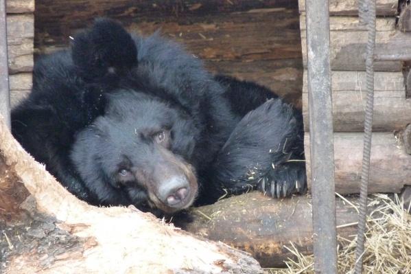 Гималайская медведица Кроха большую часть суток нежится в свой тёплой постели, выглядывая лишь изредка