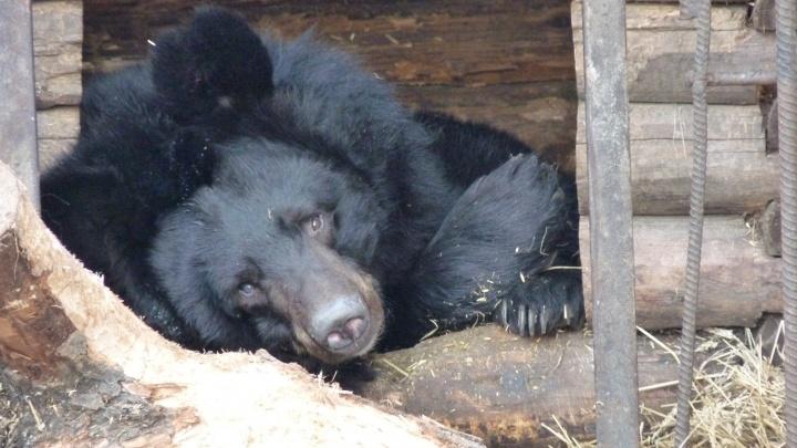В Большереченском зоопарке проснулась последняя медведица с круглыми ушами