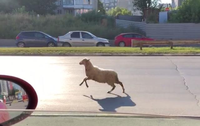 Видео: на Ипподромскую выбежала перепуганная овца