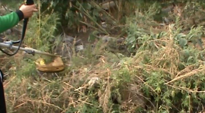 Волгоградские полицейские сожгли 1000 кустов дикой конопли