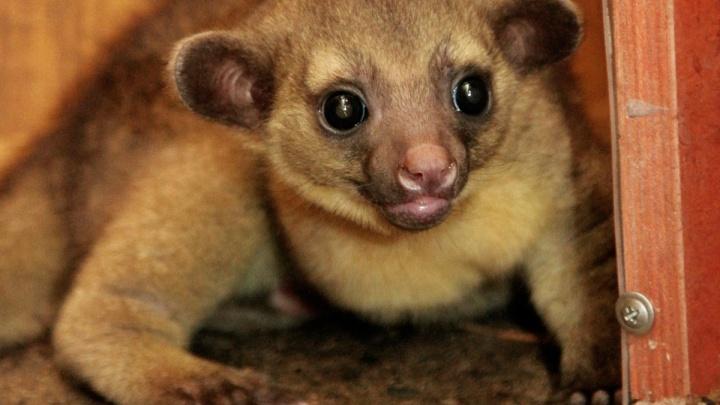 Смотрите, какой глазастик! В екатеринбургском зоопарке родился детёныш тропических енотов