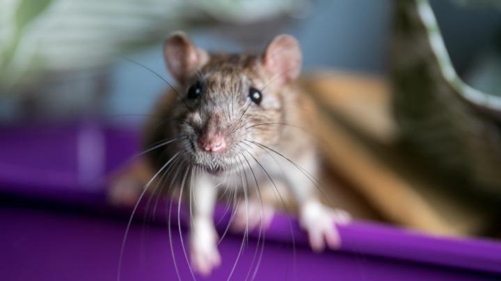 «Будет «война» за припасы рыбы и мяса в кладовках»: в поселке на севере края нашествие крыс