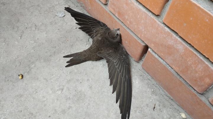 Делать тут нечего: быстрые птицы улетели из Новосибирска в Африку и Индонезию