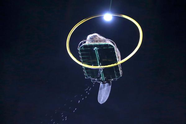 Артисты заверили зрителей, что бобр чувствовал себя комфортно во время полета под куполом