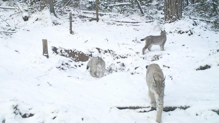 На «Столбах» заметили рысь с тремя котятами: очень милое видео