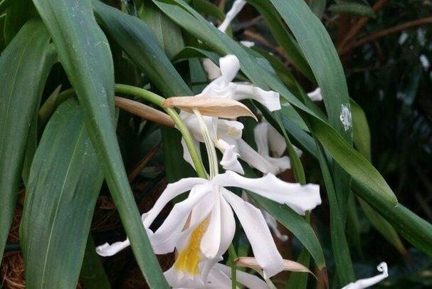 В Скандинавии эту орхидею называют «Снежная королева»