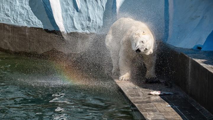 Мишка на радуге: новосибирский фотограф красиво сфотографировал белого медведя Кая в зоопарке