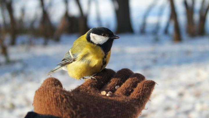 Синичкин день: как помочь диким птицам зимой и чем их кормить