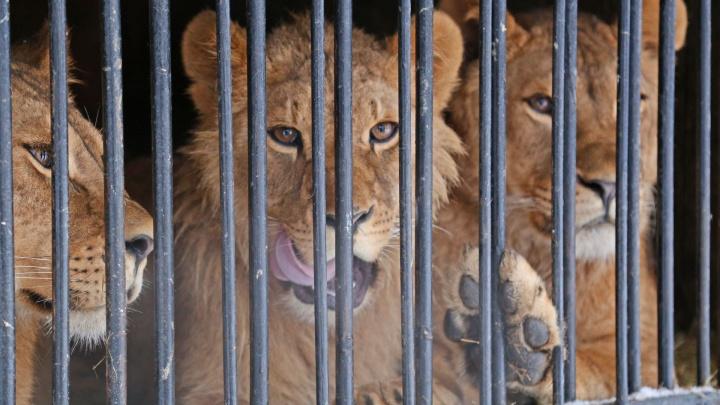 Лев с онкологией: в Уфе ветеринар спас царя зверей