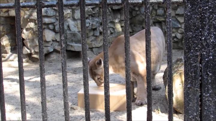 Ленивая пума отказалась от коробки мясав новосибирском зоопарке