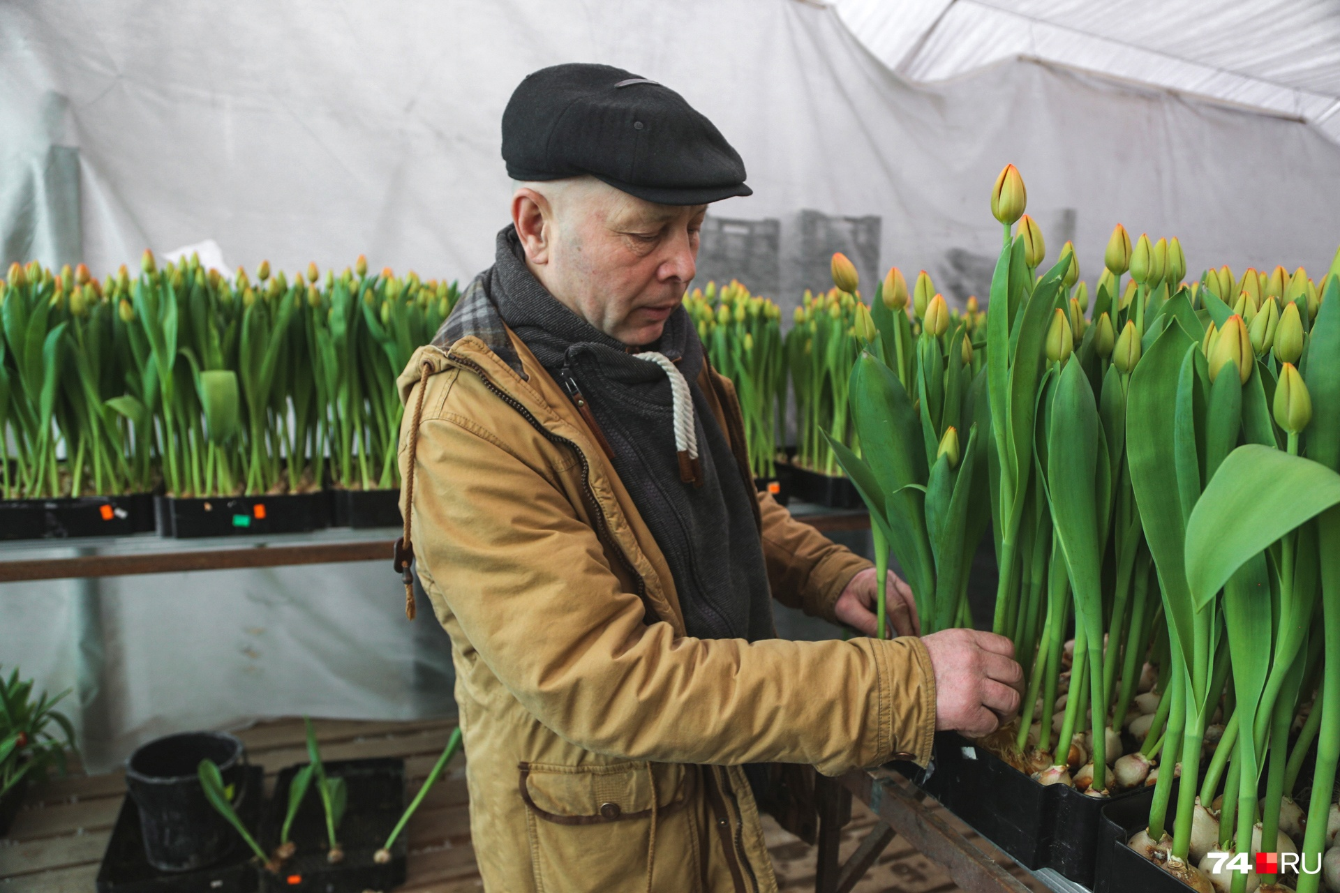 Тюльпаны растут без земли