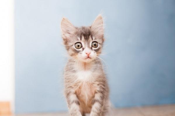 Котята, устроившие переполох в электричке, заметно подросли за месяц. На фото — Кассия<br>