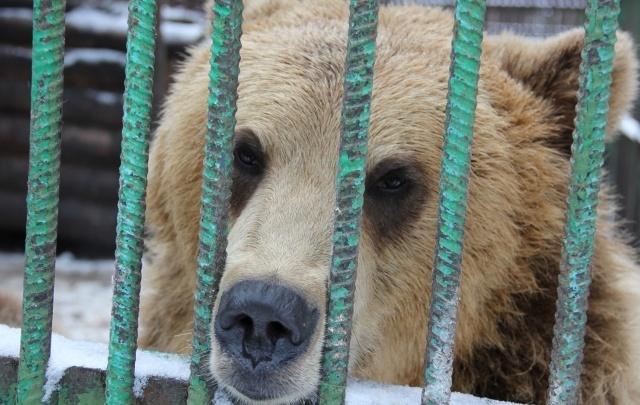 В уфимском вольере проснулась медведица Настя