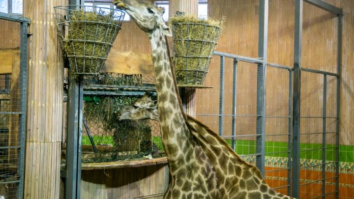 Единственный самец жирафа в красноярском зоопарке погиб ночью от болевого шока