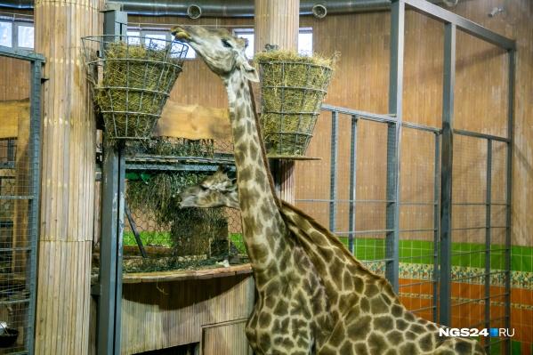 В зоопарках жирафы могут жить до 30–35 лет, красноярскому Байтереку было всего 17.